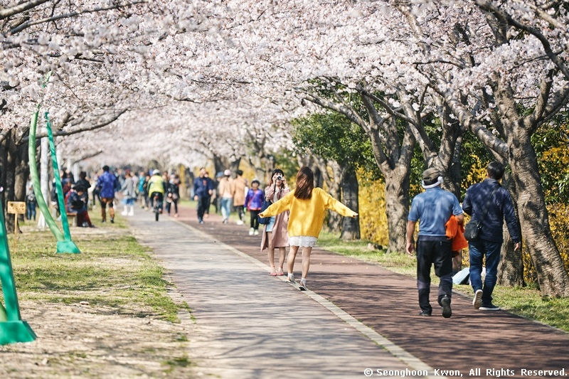 Cherry blossoms give winter the cold shoulder