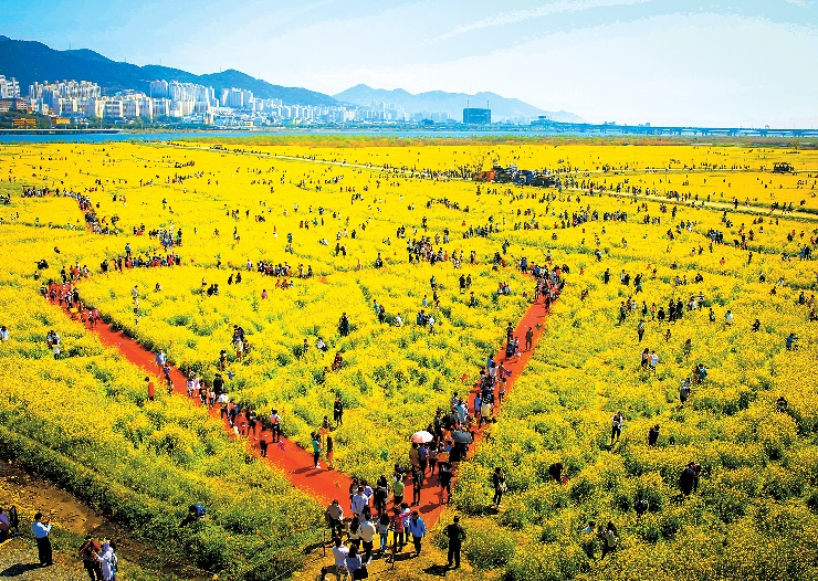Blossoms transform city of blue into sea of yellow