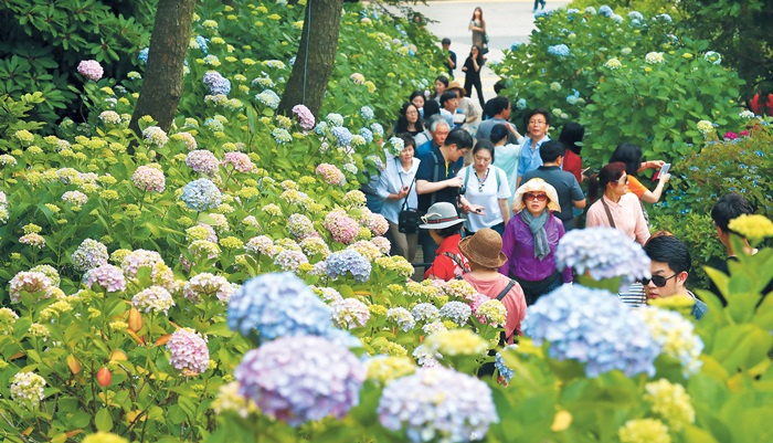 The Taejongdae Park is one of the largest hydrangea habitats in Korea. It exhibits about 5,000 hydrangeas amid 30 different species from various countries.